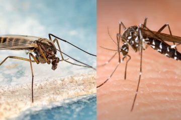 Différence moustique tigre et moustique commun