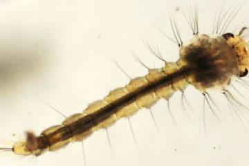 Larvicide moustique