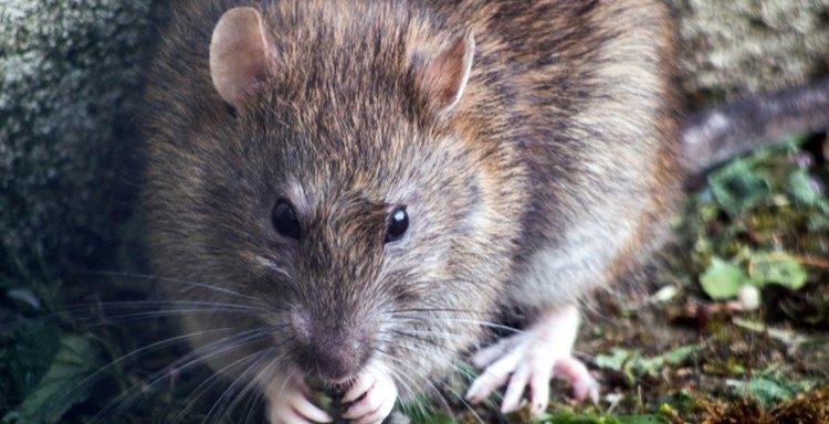 Rats et souris quels risques pour ma santé