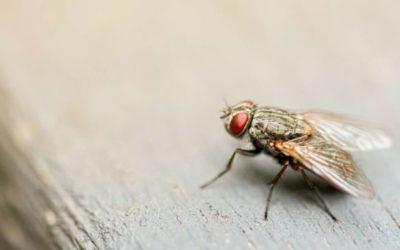 Qu'est-ce qui attire les mouches ?
