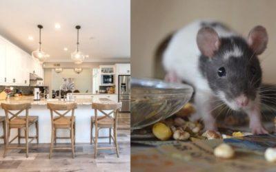 Comment se débarrasser des rats dans une maison ?