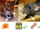 Quel appât pour attirer les souris et les rats ?