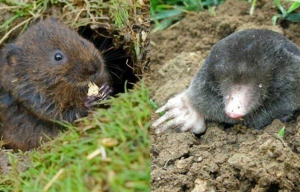 Différence taupe et rat taupier