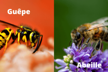 difference abeille guepe