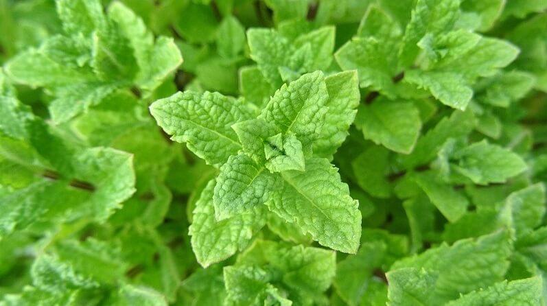 plante anti moustique menthe